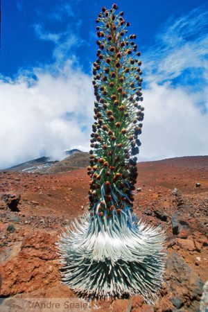 Silversword do Haleakala