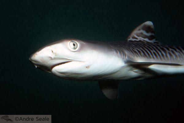 Tubarão bate-volta