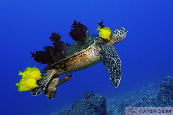 Turtle grooming - ©Andre Seale - ArteSub.com