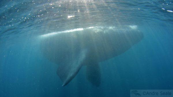 Sombra de baleia