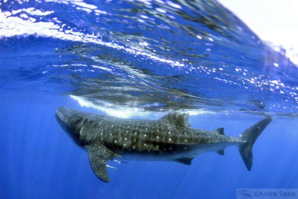 Sexta Sub - Proteção aos tubarões no mundo todo