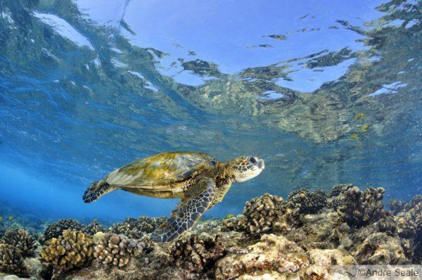 Cadê os machos de tartaruga?